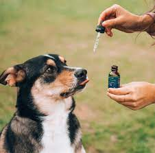 Role of CBD in Treating Collapsed Trachea in Dogs